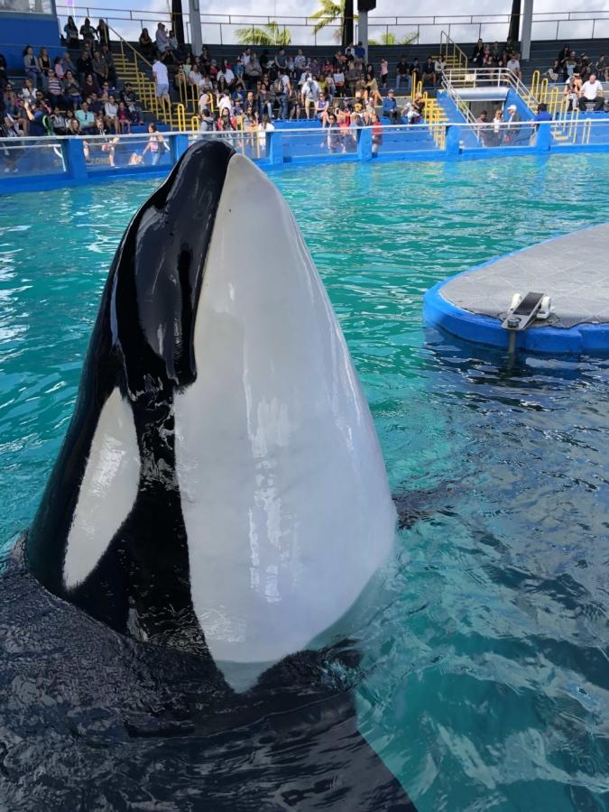Distracţii, acvariu, program de formare, balenă, apa, balena ucigasa, Suflanta, înot, oameni, scufundări