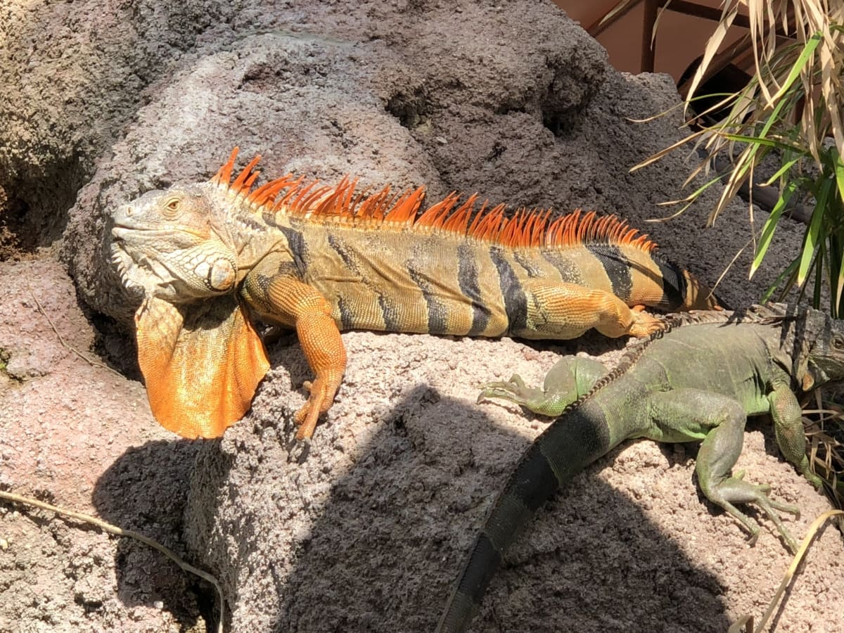 colorful, lizard, wildlife, reptile, animal, nature, desert, tropical, spike, wild
