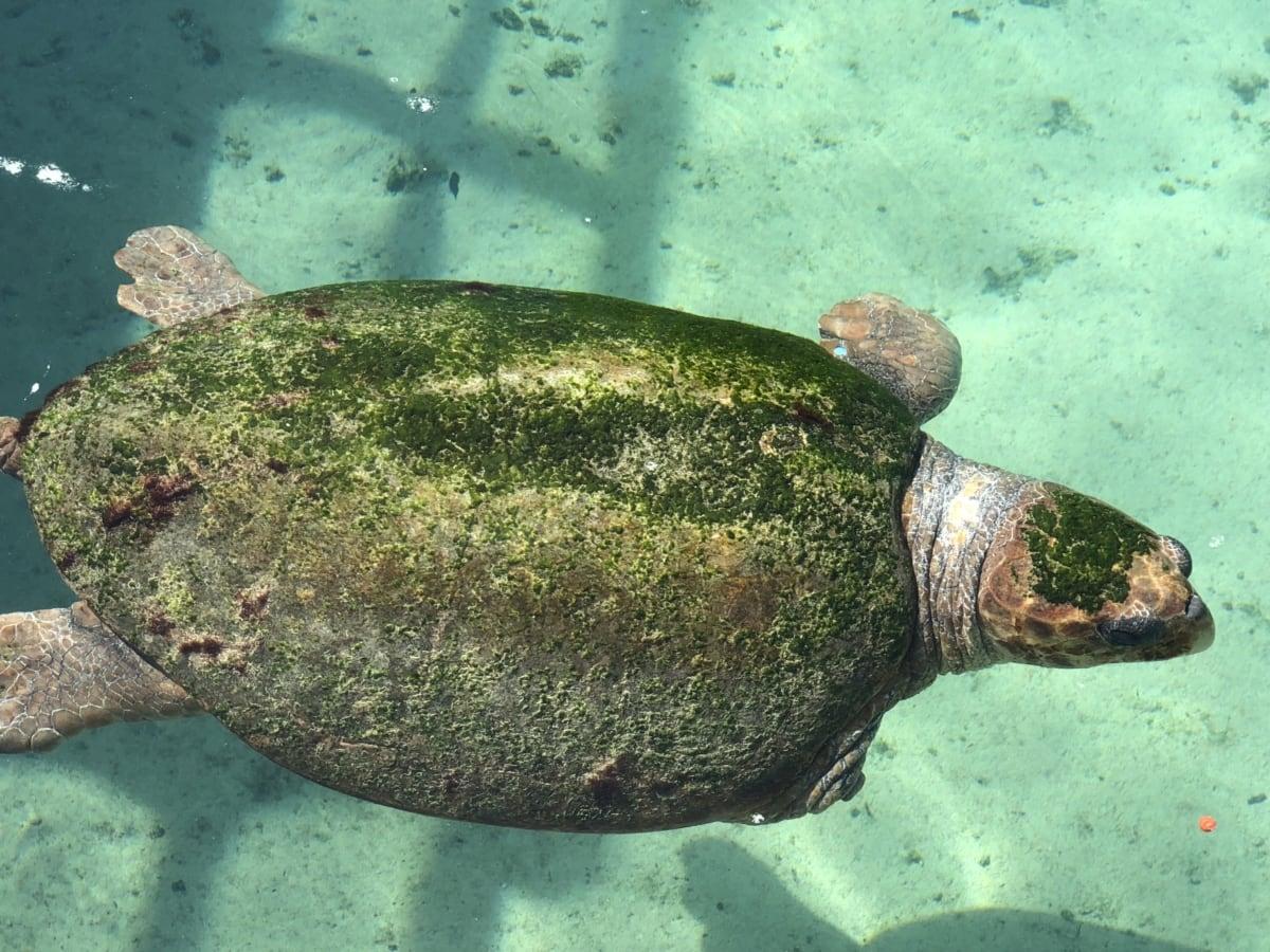 Meeresschildkröte, Unterwasser, Fisch, Ozean, tropische, Natur, Schildkröte, Wasser, Meer, Schwimmen