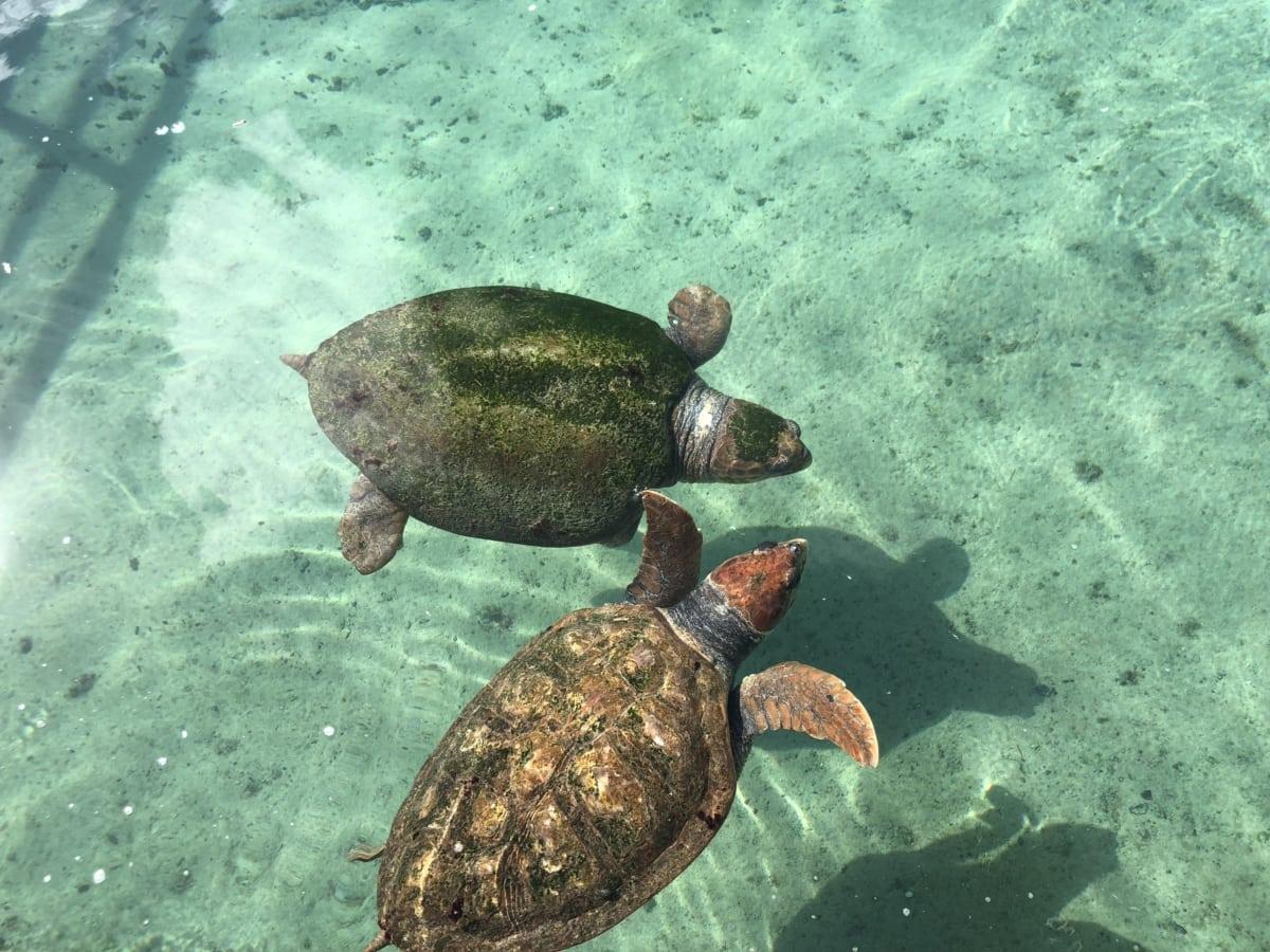 morska kornjača, priroda, voda, pod vodom, ocean, kornjača, more, tijekom, tropska, gmaz