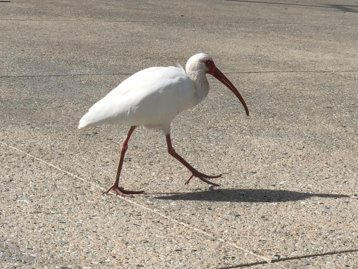 asphalt, beak, pavement, wading bird, white, bird, aquatic bird, wildlife, nature, feather