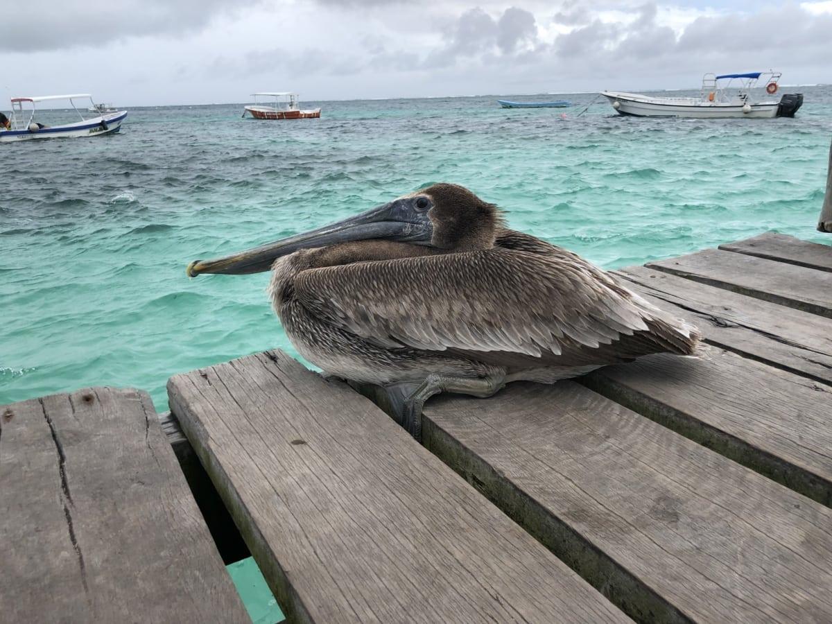 aquatic bird, beautiful photo, boats, brown, pelican, pier, summer season, coast, water, ocean