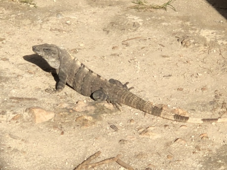 exotique, Tropic bird, nature, nature sauvage, lézard, faune, reptile, sable, sauvage, Tropical