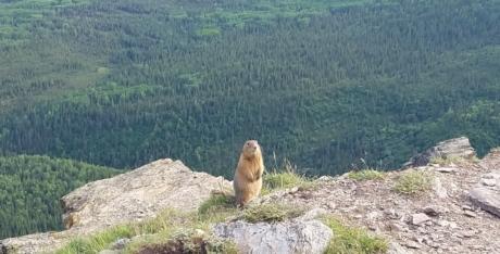 heuveltop, knaagdier, natuur, marmot, buitenshuis, landschap, berg, gras, rots, wild