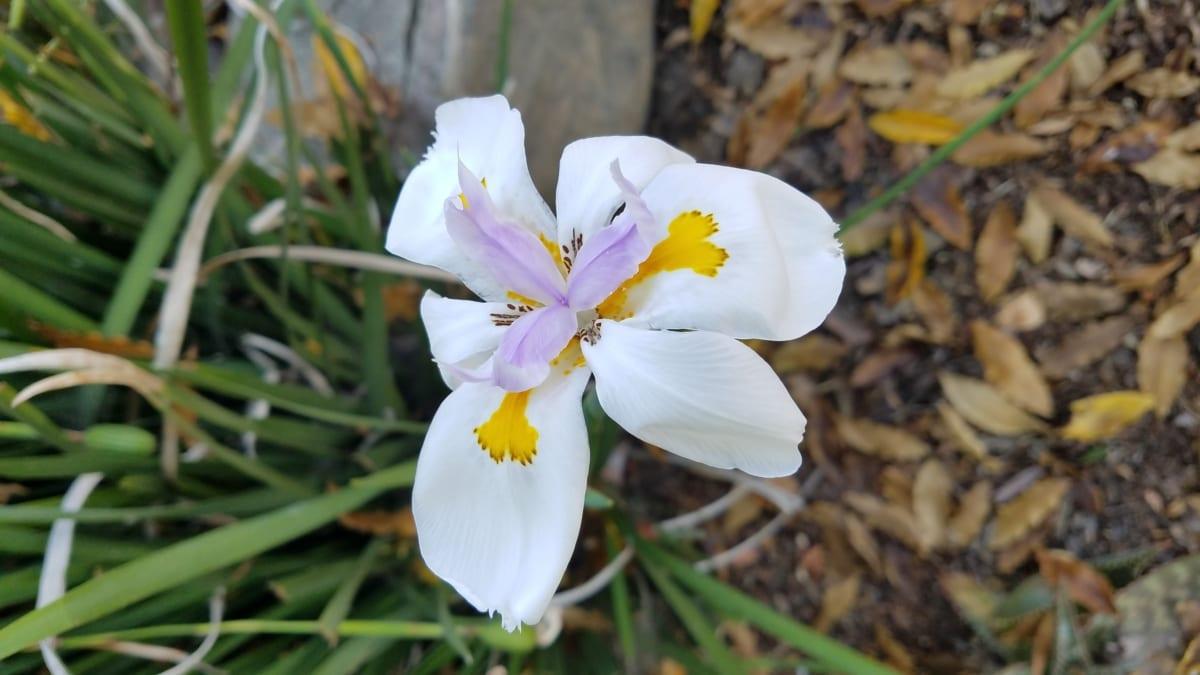 detail, pistilo, solo, flor branca, pétala, flores, natureza, planta, flor, folha