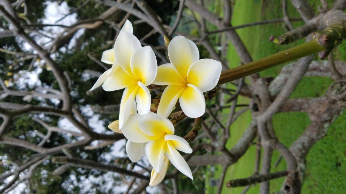 egzotične, cvjetni vrt, drvo, grm, cvijeće, cvijet, priroda, biljka, tropska, list