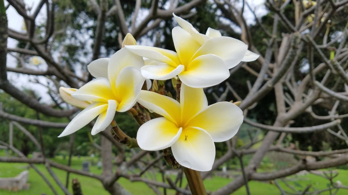 shrub, tropical, white flower, flower, nature, plant, frangipani, exotic, garden, leaf
