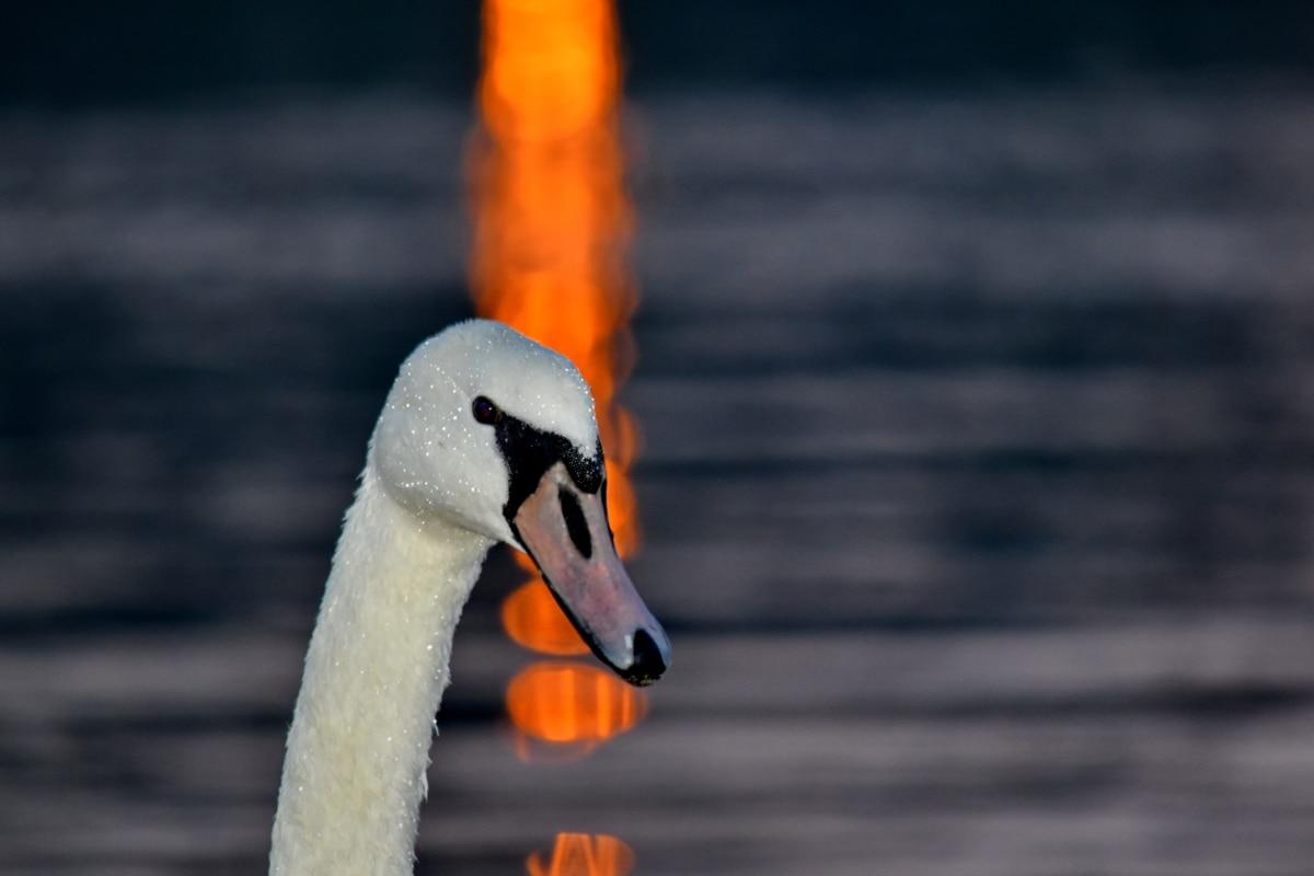 tama, glava, odraz, zalazak sunca, labud, mokro, ptice vodarice, kljun, vodena ptica, biljni i životinjski svijet