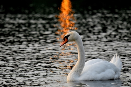 bird, lake, sunset, swan, swimming, waterfowl, aquatic bird, water, wildlife, beak