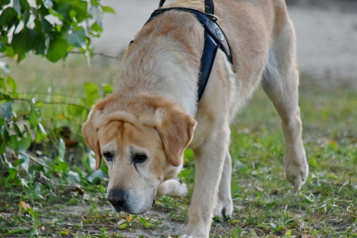 사냥 개, 래브라도, 실행 중, 황갈색, 애완 동물, 개, 동물, 귀여운, 잔디, 모피