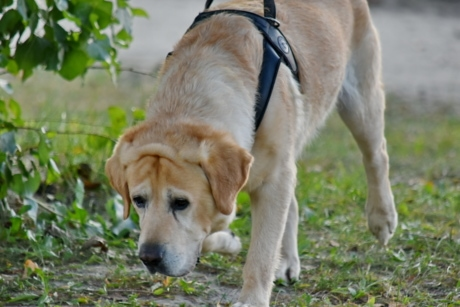 hunting dog, labrador, running, yellowish brown, pet, dog, animal, cute, grass, fur