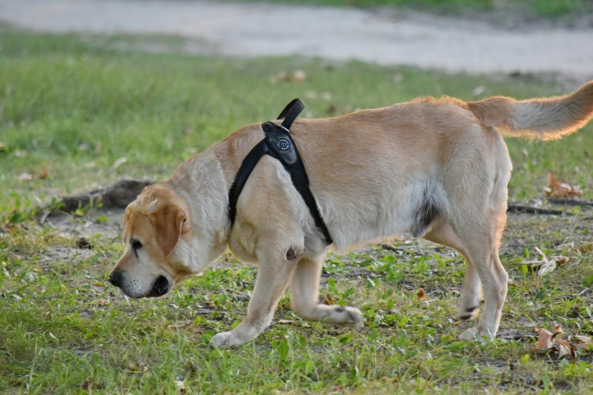 cute, hunting dog, pet, dog, canine, grass, retriever, animal, puppy, fur