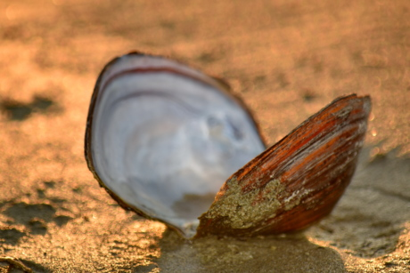 beach, mussel, sand, sunset, invertebrate, gastropod, nature, mollusk, shell, shellfish
