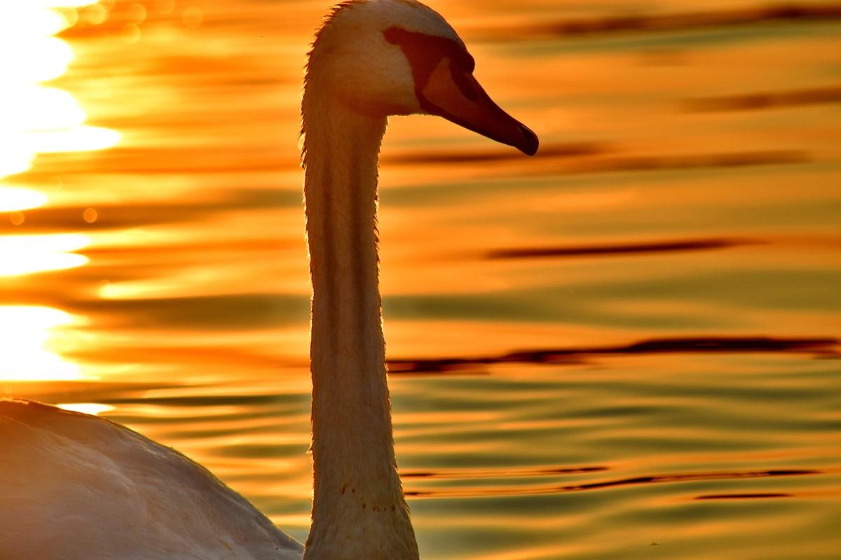 vakre bilde, nært hold, hodet, halsen, stående, siden, silhuett, solnedgang, svane, akvatiske fugl