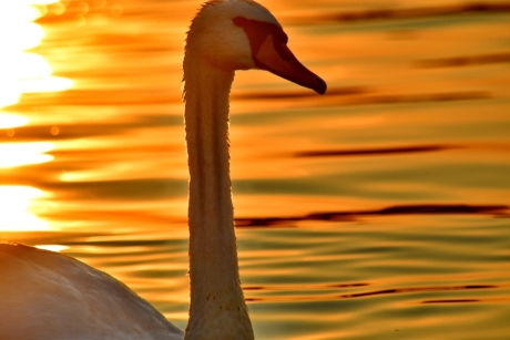 beautiful photo, close-up, head, neck, portrait, side view, silhouette, sunset, swan, aquatic bird