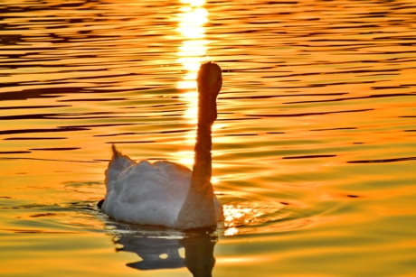 bird, lake, natural habitat, sunrays, sunset, swan, swimming, waves, nature, water