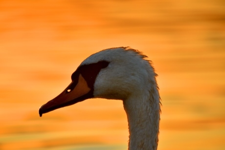 beak, head, side view, sunset, swan, waterfowl, bird, wildlife, aquatic bird, nature