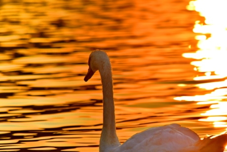 horizon, reflection, sunset, swan, swimming, bird, wildlife, aquatic bird, water, waterfowl
