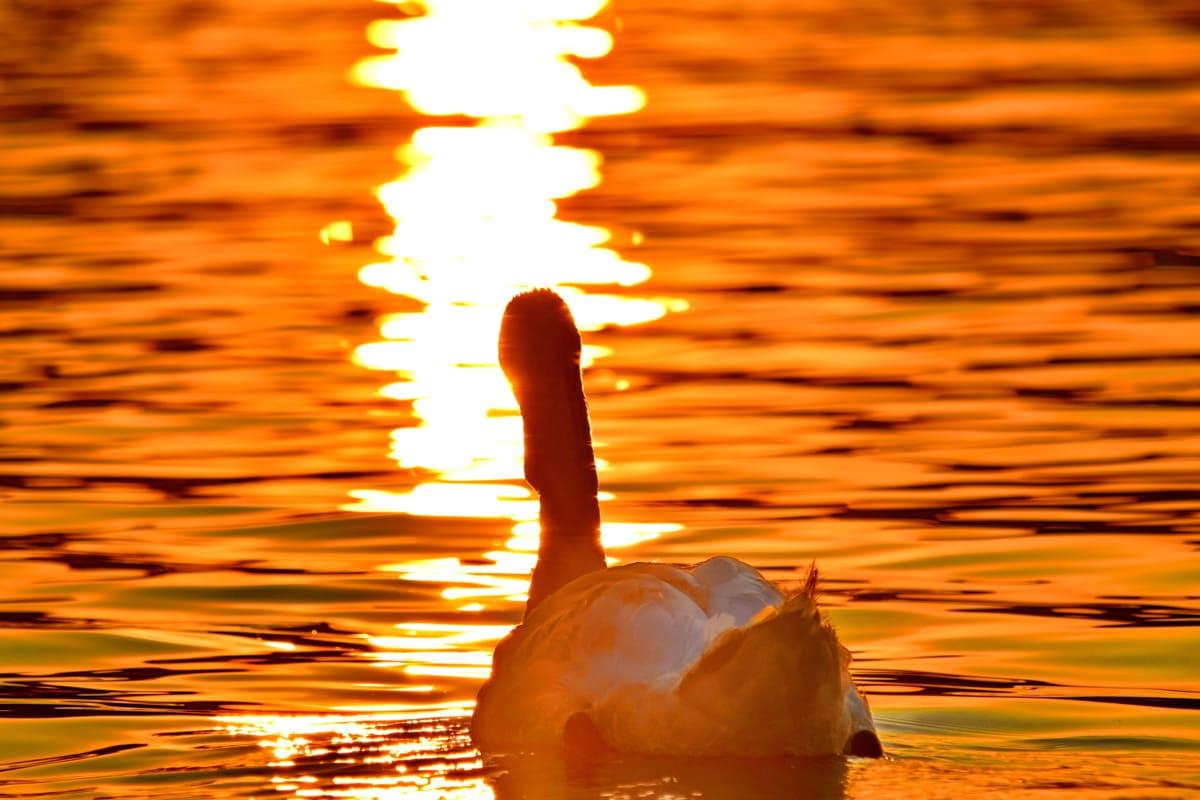 Vacker, solstrålar, solnedgång, svan, vatten, gryning, sjöfåglar, fågel, reflektion, solen