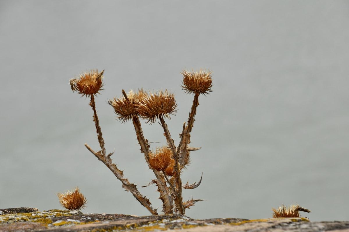 kuru mevsim, ot, doğa, çalı, açık havada, çiçek, flora, vahşi, Yaz, keskin