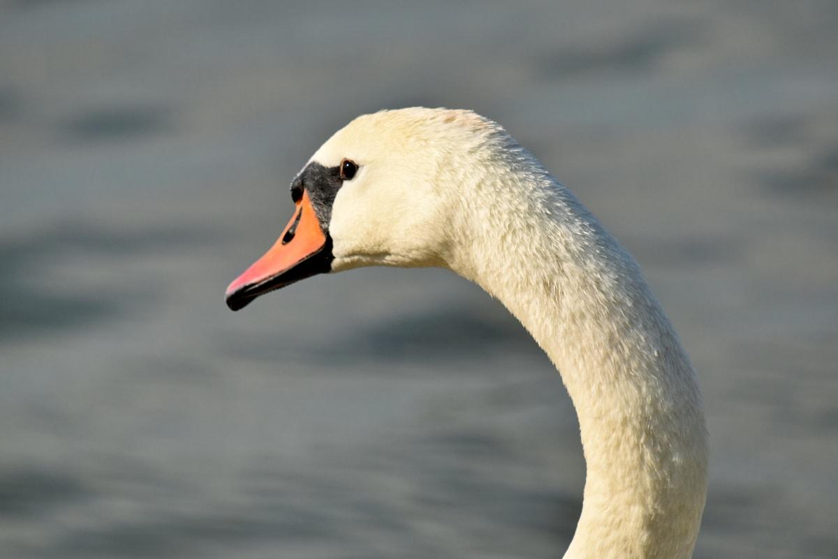élégance, cou, vue de côté, cygne, oiseaux aquatique, faune, sauvagine, panache, eau, oiseau