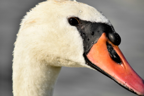 beak, beautiful photo, close-up, head, profile, skin, swan, aquatic bird, waterfowl, bird