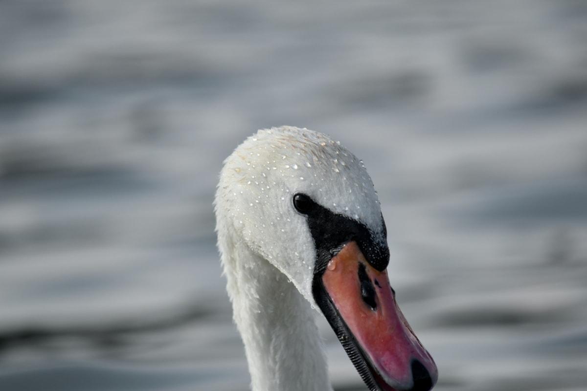glava, sa strane, labud, mokro, ptice vodarice, biljni i životinjski svijet, priroda, kljun, ptica, vodena ptica