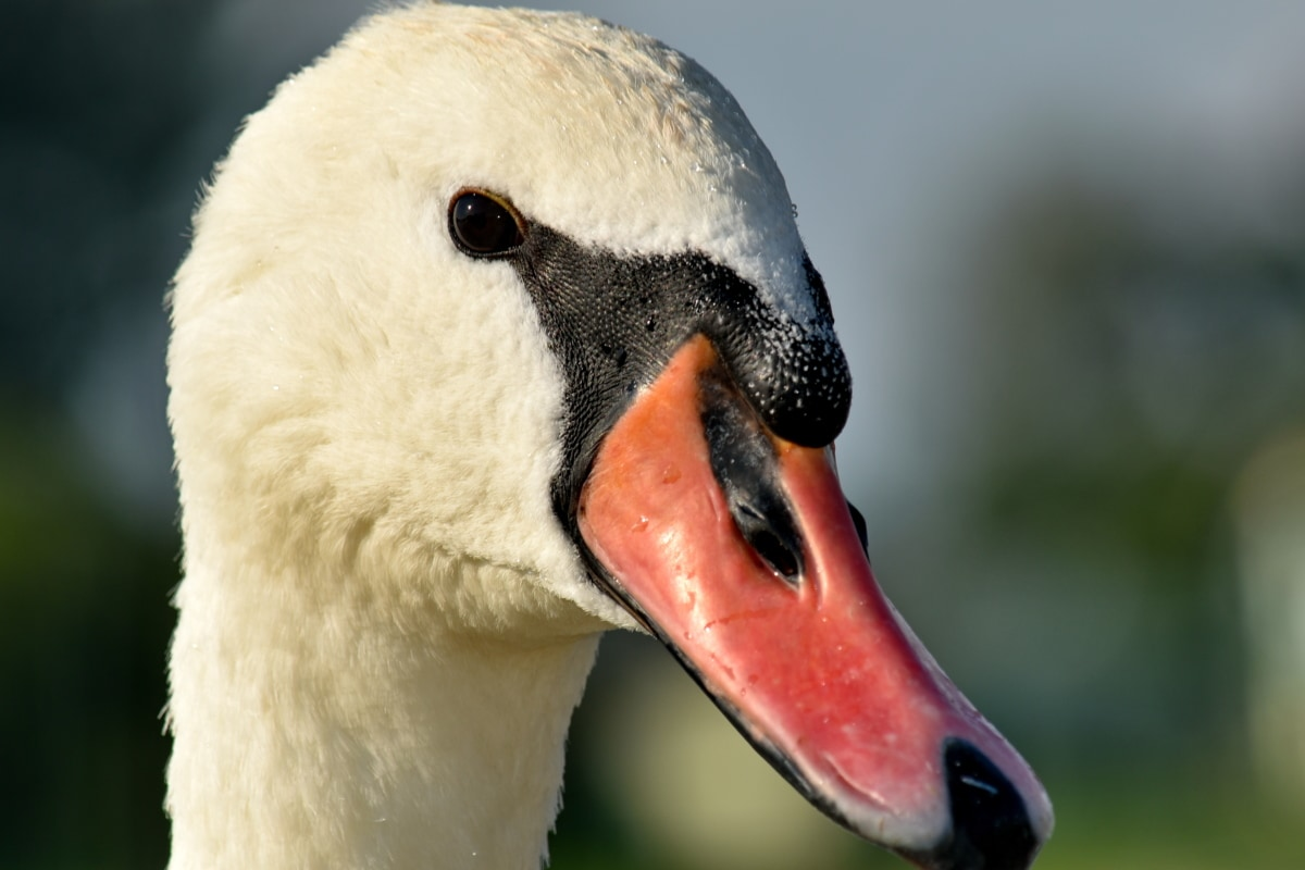 beak, bird, close-up, details, head, portrait, swan, nature, waterfowl, aquatic bird
