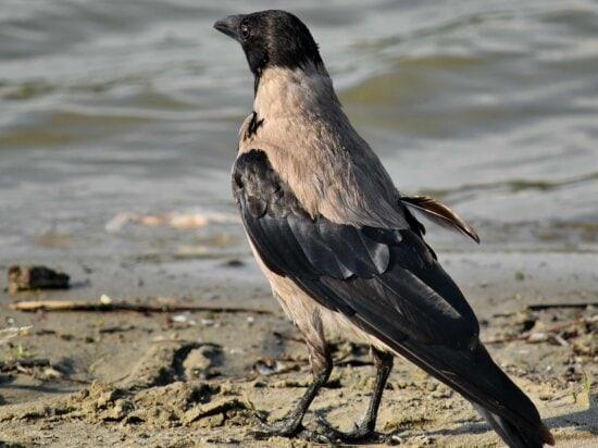 Raven en kraaien