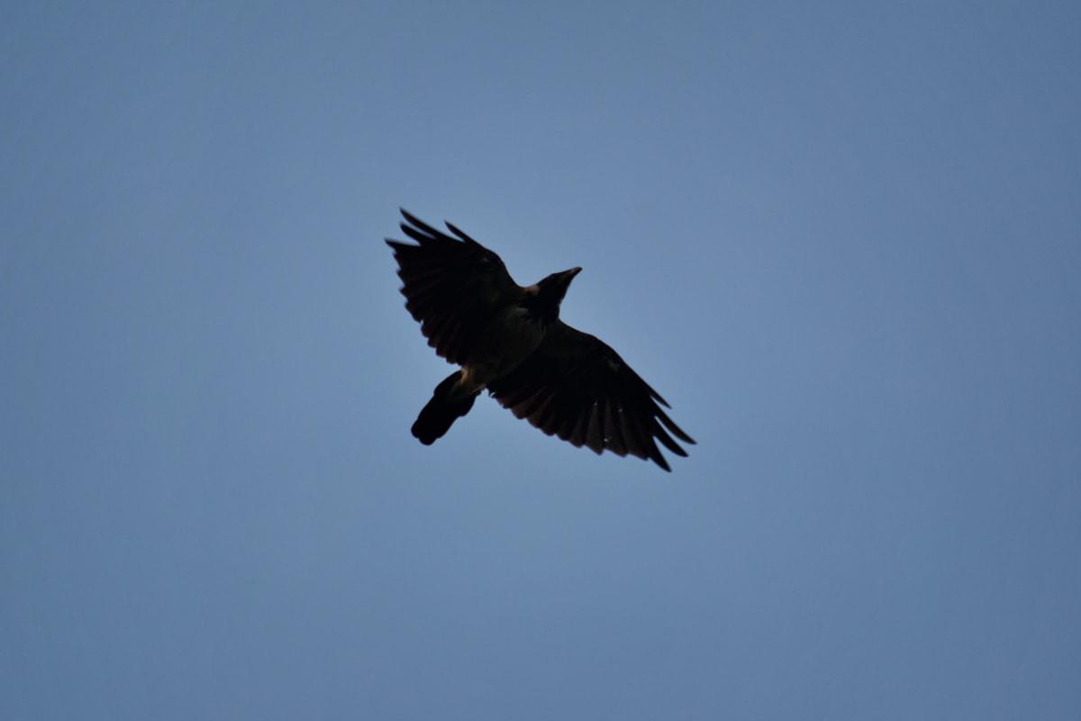 blue sky, flying, flyover, raven, wings, wildlife, crow, bird, flight, nature