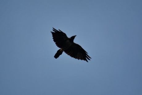 blue sky, flying, flyover, raven, wings, wildlife, crow, bird, flight, nature
