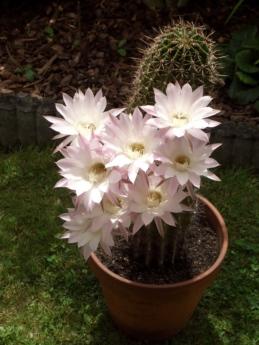 kaktus, květinová zahrada, kvetoucí, Květináč, květ, růžová, zahrada, květiny, Flora, Příroda