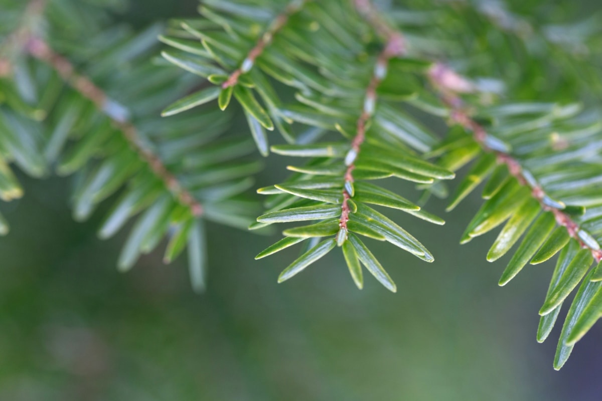 blur, branches, conifers, green leaf, winter, tree, nature, branch, plant, upclose