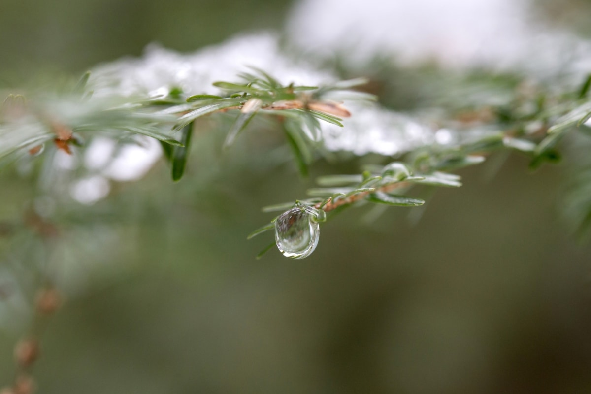 zamagliti, četinjača, detalj, bor, kiša, kapljica kiše, drvo, biljka, biljka, priroda