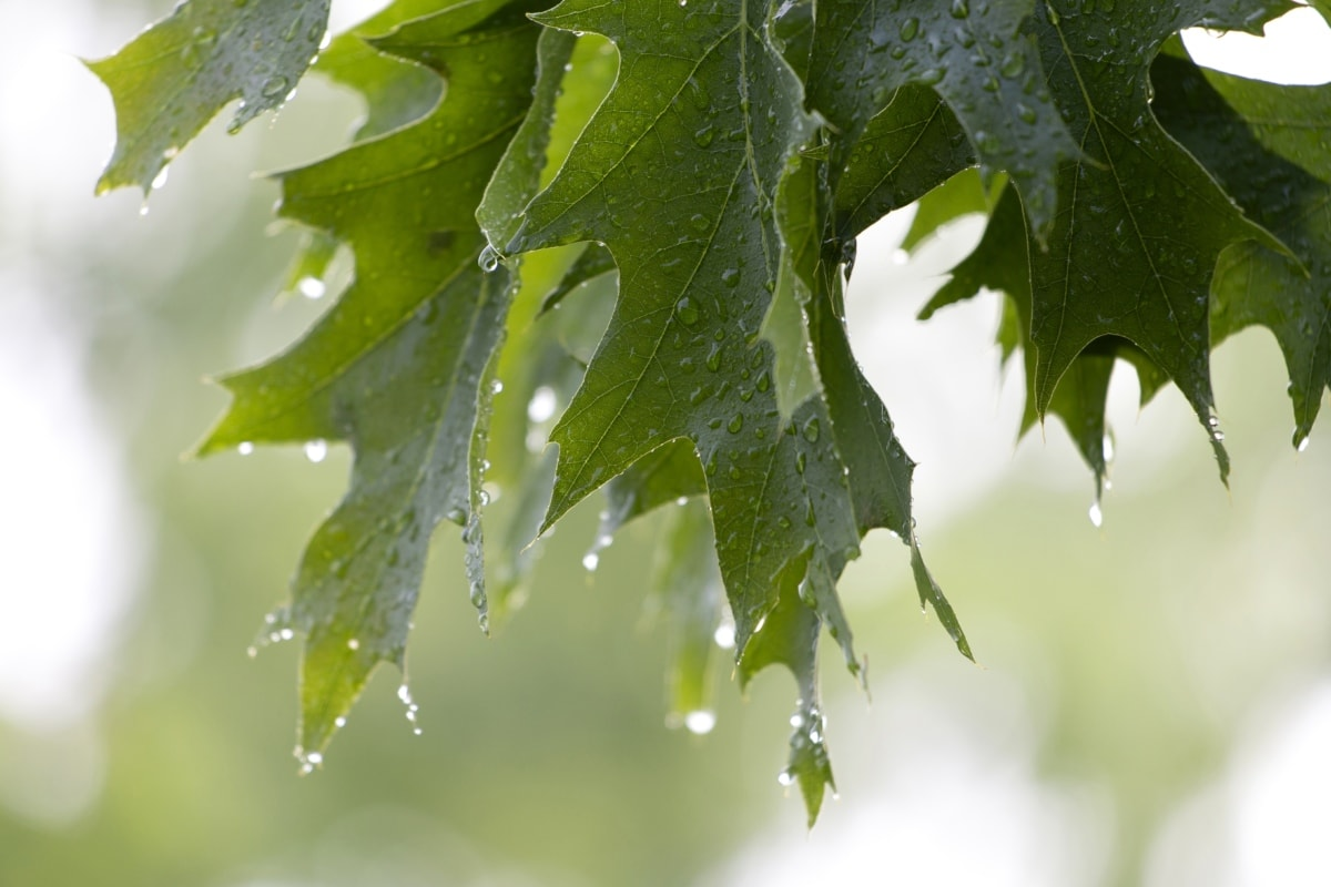 detail, green leaves, rain, raindrop, spring time, sunshine, oak, forest, nature, plant