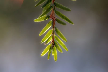 branch, branches, detail, white spruce, plant, tree, herb, nature, winter, leaf