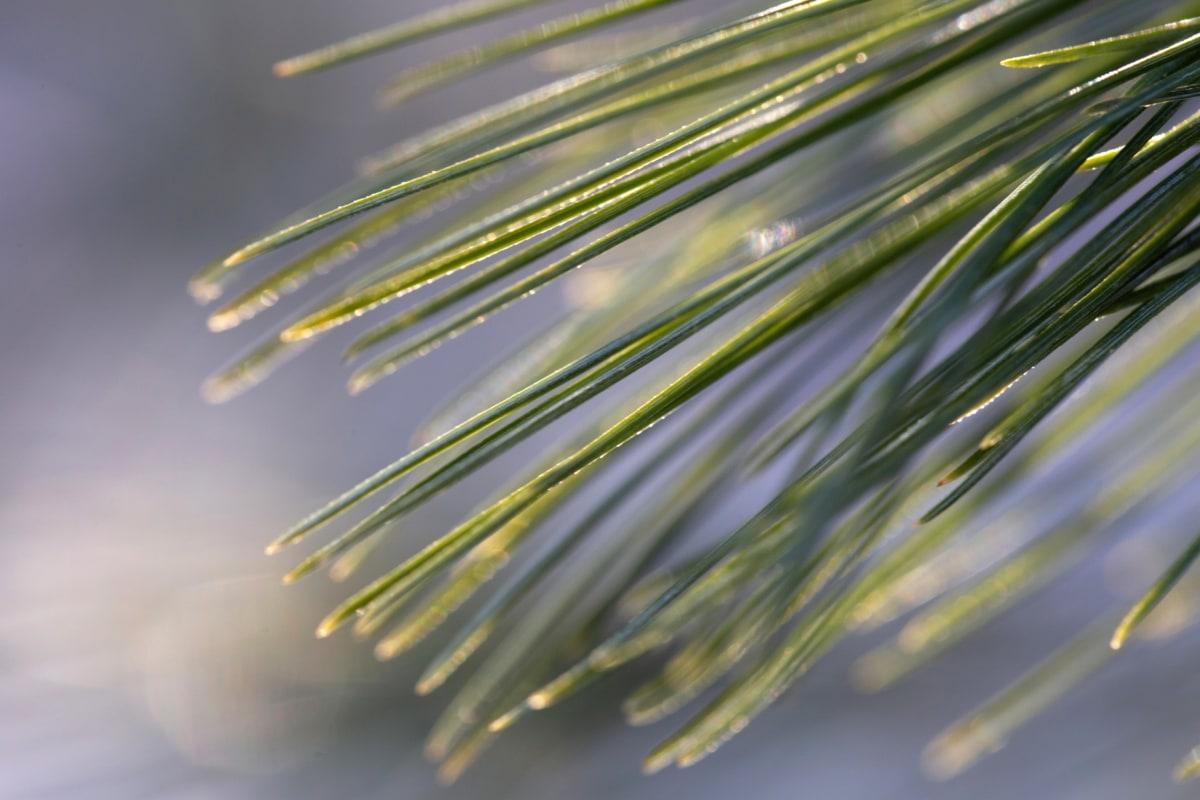 ซันไชน์, เบลอ, สน, หนาว, ต้นไม้, ธรรมชาติ, เอเวอร์กรีน, สน, สดใส, สาขา