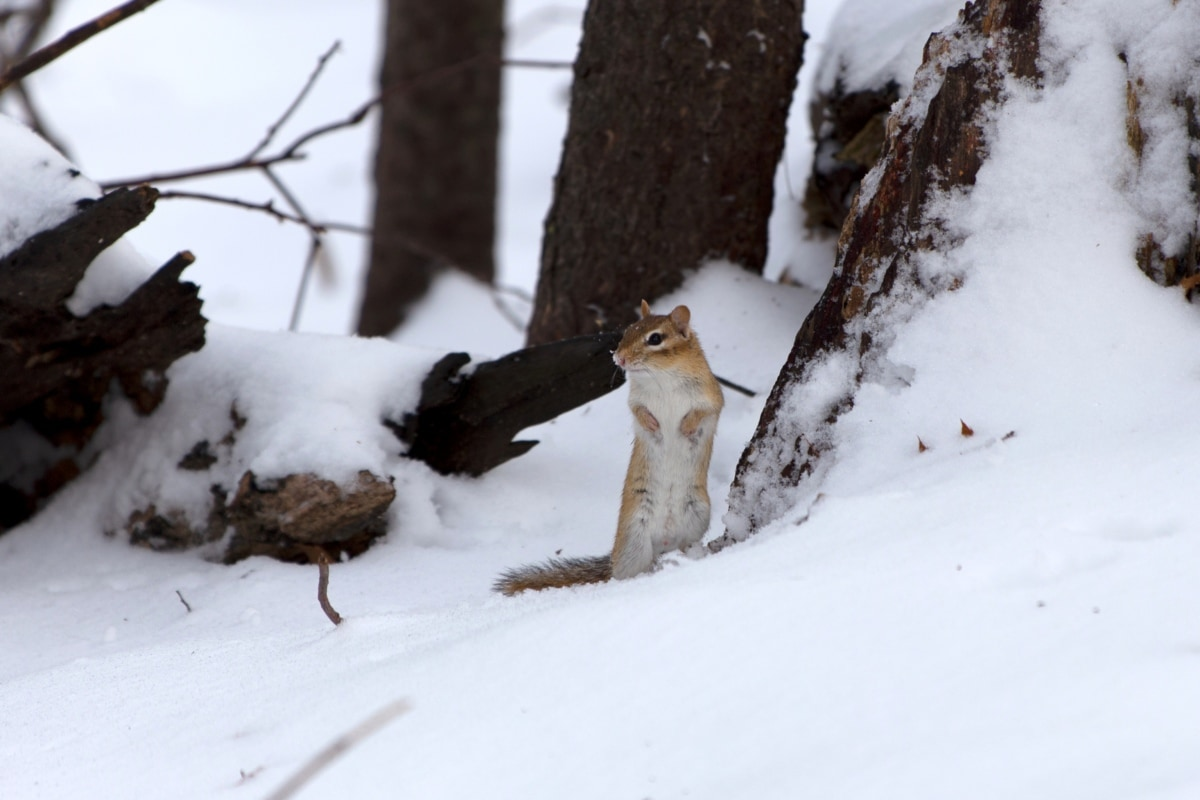 rodent, snow, squirrel, wildlife, winter, cold, tree, weather, frozen, wood