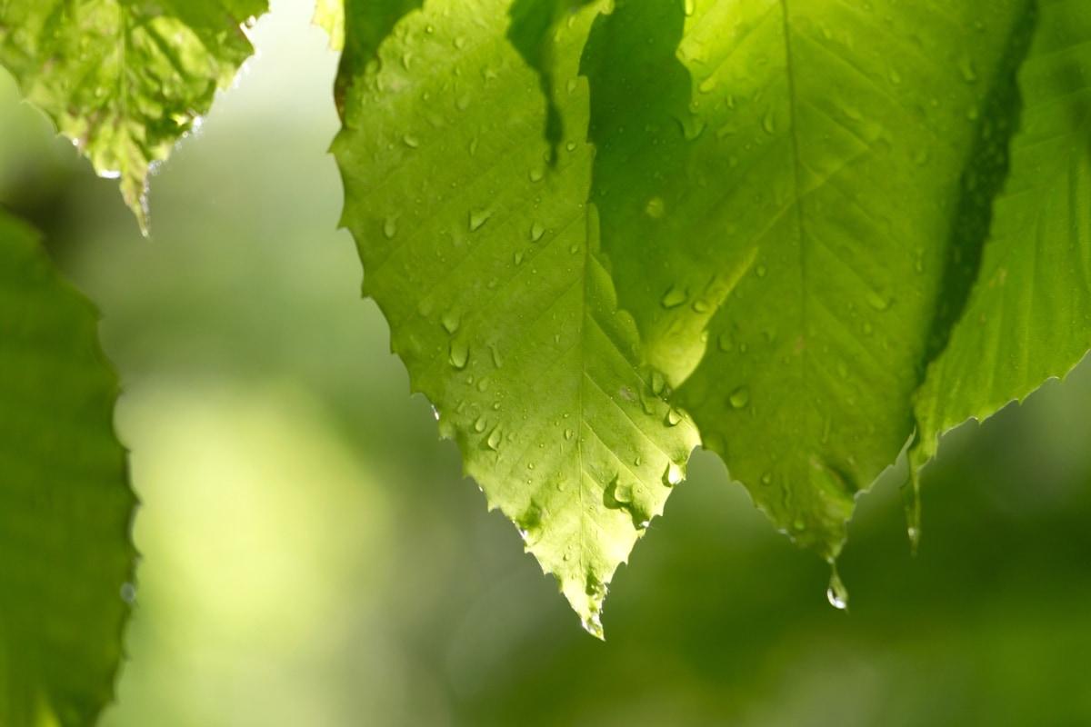 クロロフィル, 液滴, 緑の葉, 緑がかった黄色, 水分, 雨, レイン ドロップ, ツリー, 自然, 春