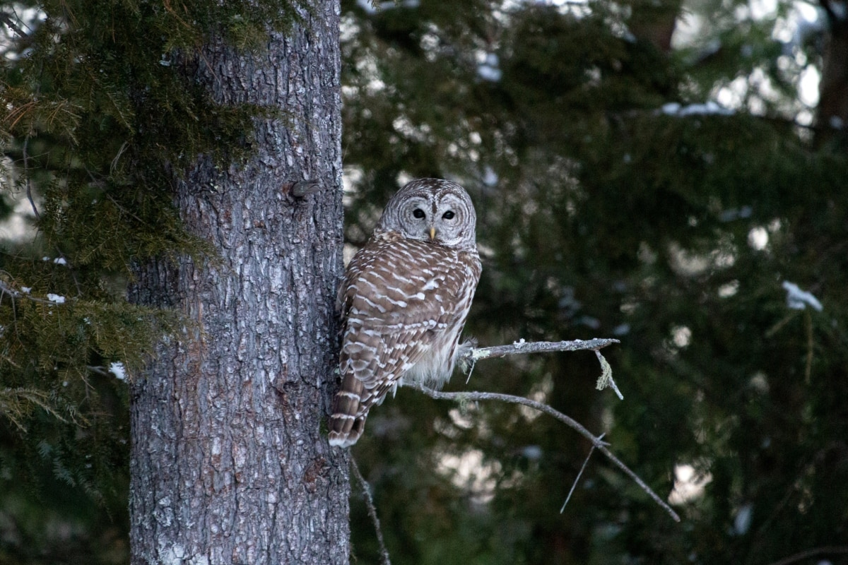 forest, natural habitat, owl, pine, outdoors, tree, wildlife, bird, beak, nature