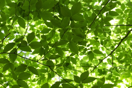 branches, chlorophyll, ecology, forest, green leaves, shadow, spring time, plant, leaf, fair weather
