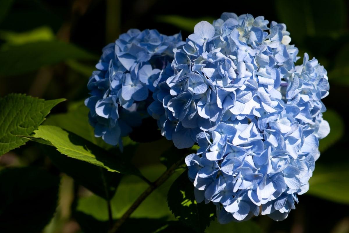 синій, Purplish, завод, гортензії, лист, квітка, чагарник, природа, флора, сад