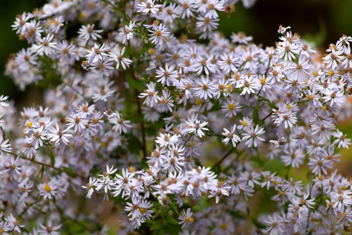 kamille, blomster, hvit blomst, treet, natur, flora, Sommer, urt, anlegget, utendørs