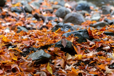 autumn season, dry season, ground, rocks, nature, maple, leaf, outdoors, season, wood