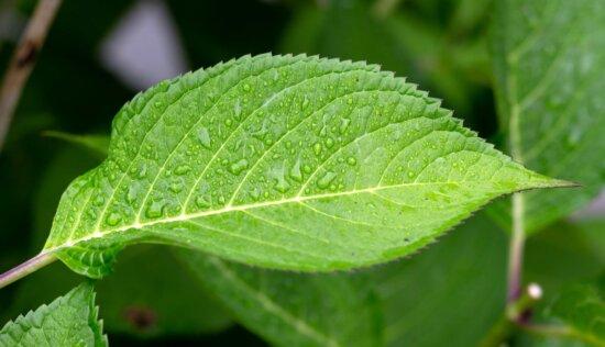 klorofyll, gröna blad, fukt, regn, våt, ört, flora, lämnar, naturen, träd