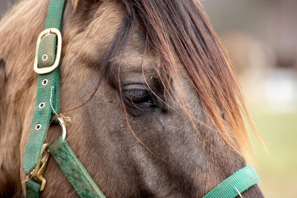 oko, očna jabučica, trepavice, glava, konj, pastuh, priroda, konjica, životinja, portret