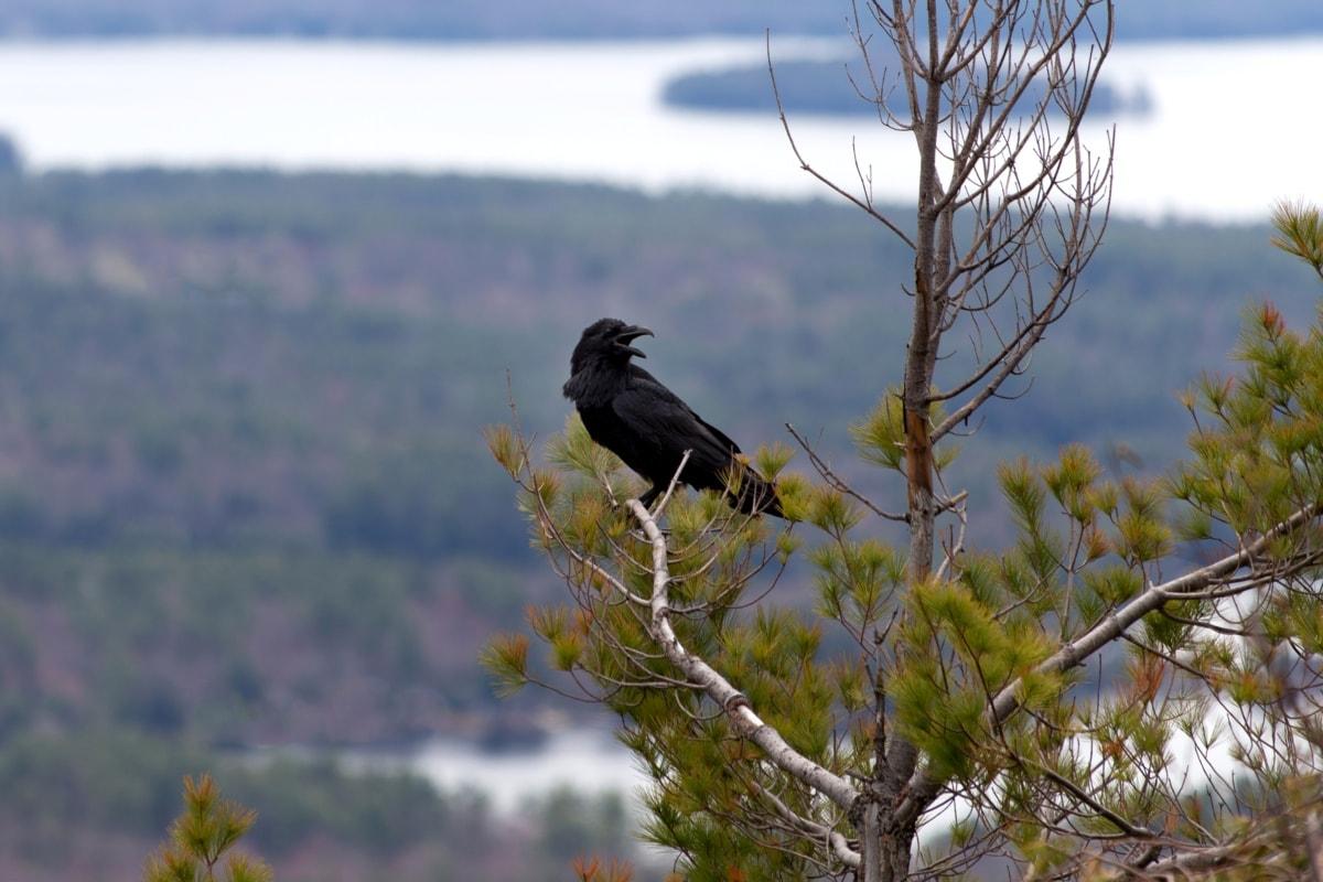 crna ptica, vrana, biljni i životinjski svijet, priroda, ptica, na otvorenom, drvo, životinja, Gavran, divlje