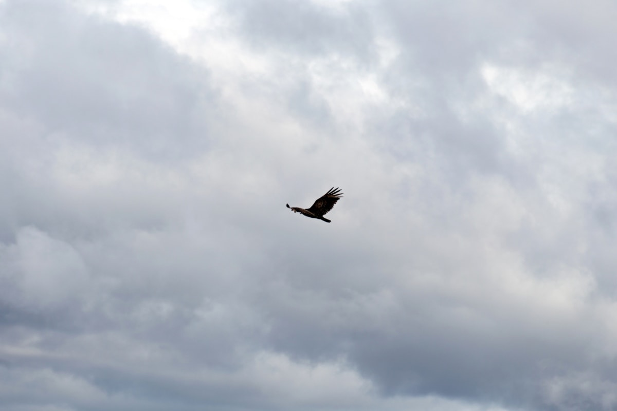 flying, overflight, nature, clouds, bird, outdoors, cloud, flight, wildlife, blue sky