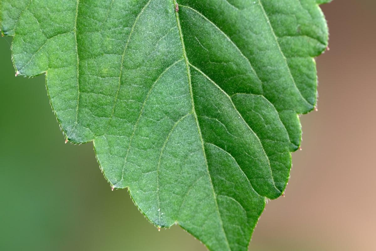 botanic, chlorophyll, green leaf, vein, plant, foliage, leaf, tree, spring, leaves