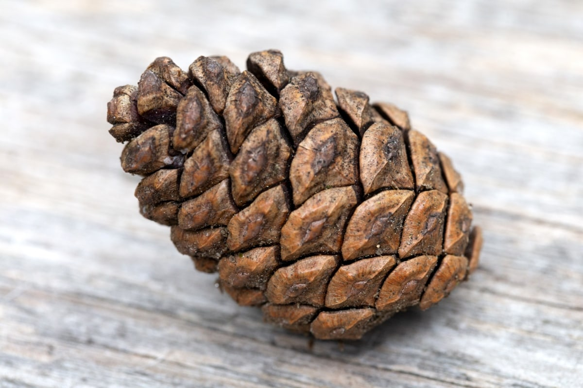 close-up, light brown, seed, wood, nature, pine, upclose, dry, texture, wooden